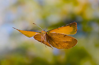 Sleepy Orange Butterfly in flight (Abaeis nicippe), Lepidoptera, Pieridae, Texas, USA