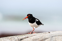 Norway, Revtangen. Oystercatcher.