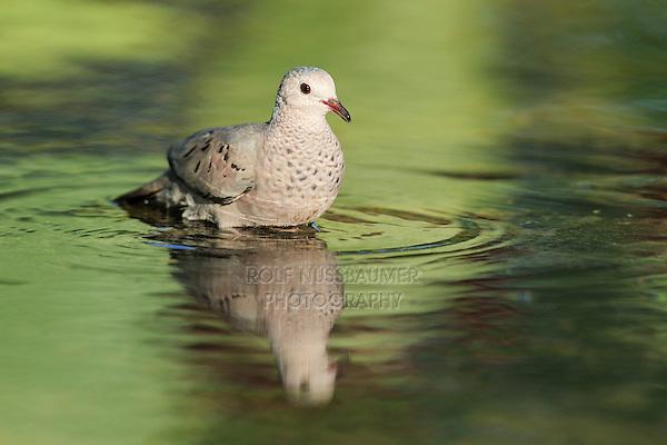 Common Ground-Dove (Columbina passerina), adult bathing, Dinero, Lake Corpus Christi, South Texas, USA