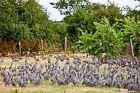 Free range guinea fowl at Precigne Commune in France