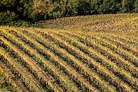 Autumn foliage of vineyards near Orvieto, Umbria, Italy