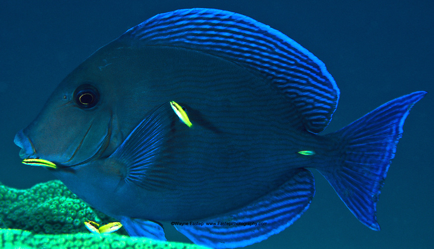 Blue tang acanthurus coeruleus this fish had pulled for Blue tang fish facts