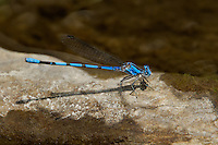 338430006 a wild male california dancer argia argioides perches on a grass stem along the frenchmans flat area of piru creek in los angeles county california united states