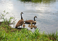 Canada Geese Family in New Hampshire