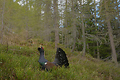 Western Capercaillie male (Tetrao urogallus), Alps, Italy