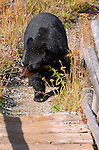Black Bear Crossing Bridge, Roosevelt Lodge, Yellowstone National Park, Wyoming