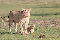 Lioness with blood on her face from feeding standing beside her tiny cub in the Masai Mara Reserve, Kenya, Africa (photo by Wildlife Photographer Matt Considine)