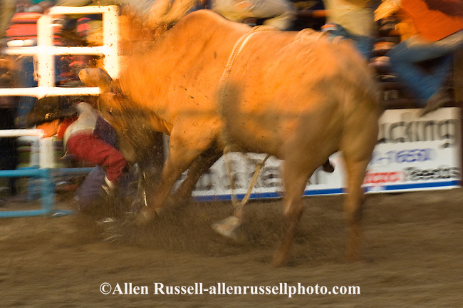 Bull Rider being mauled by bull after bucked off at Miles City Bucking ...