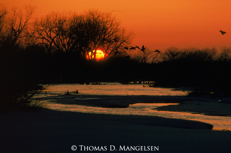 Silhouetted mallards take off from and float on the river at sunset.