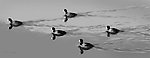 A group of ducks swim on Richardson Bay in Mill Valley California.