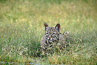 611000004 a wild bobcat felis rufus lays in tall grass next to a small waterhole on a ranch in the rio grande valley in south texas
