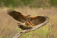 541950090 a wild harris hawk parabuteo unicinctus lands on a dead tree snag in the rio grande valley of south texas