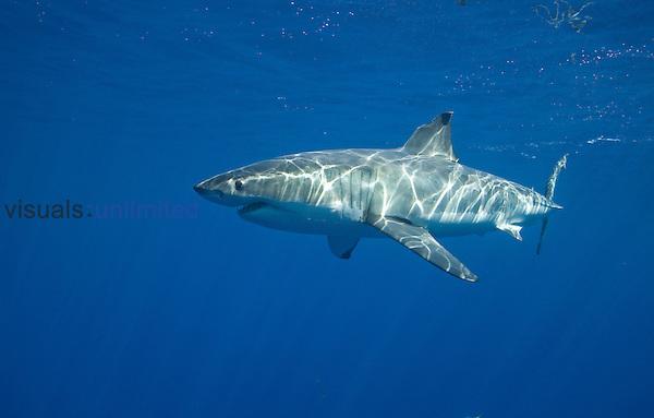 White shark, (Carcharodon carcharias), Guadalupe Island, Baja California, Mexico