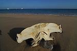hammerhead shark head on beach at Los Frailes