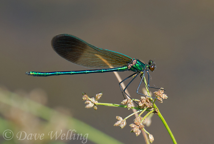 345920003 a wild male river jewelwing calopteryx aequabilis perches on a plant stem over a small river in modoc county california