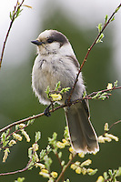 Grey Jay perched on a branch