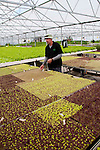 New Zealand, South Island, Marlborough, hydroponic lettuce leaf and herb agriculture production at Thymebank with co-owner Martin Birch. Photo #126421