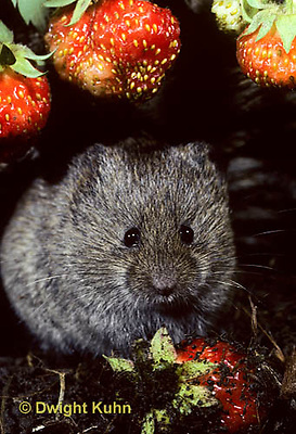 MU30-074z   Meadow Vole - eating strawberries - Microtus pennsylvanicus
