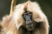 Gelada sub-mature male portrait (Theropithecus gelada), Simien Mountains National Park, Ethiopia.