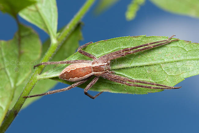 A Nursery Web Spider (Pisaurina mira) clings to the underside of a leaf, Great Smoky Mountains National Park