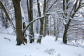 Beechwood at Little Gaddesden Hertfordshire in Snow