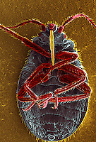 Bedbug (Cimex lectularius)  ventral surface showing the piercing mouthparts used to obtain its blood meal. The insects are not effective vectors of disease but inflammation associated with their bites occurs due to allergic reactions to components in their saliva. SEM