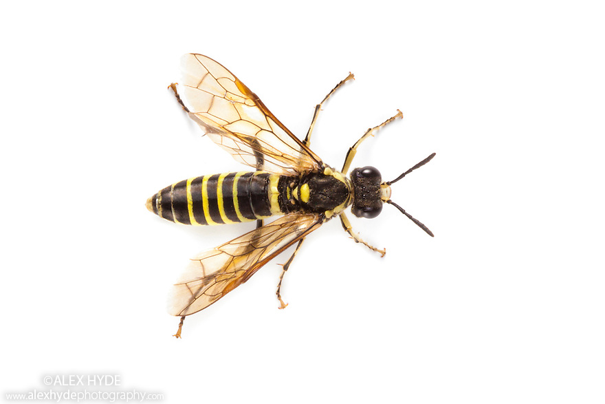 Wood Wasps and Sawflies - Bees, Wasps and Ants (Order: Hymenoptera ...