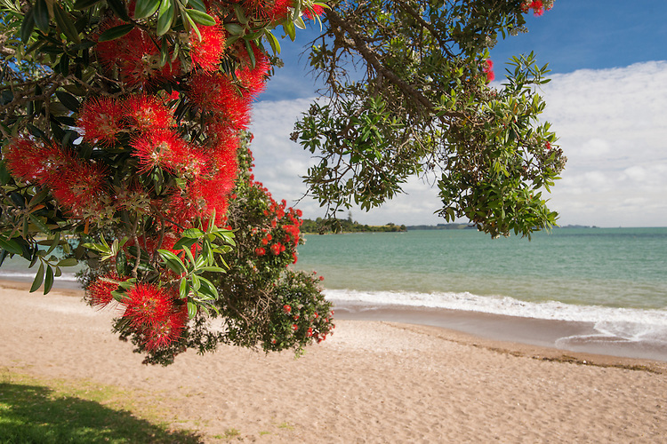 Flowering pohutukawa tree, Pahia Beach,New Zealand - stock photo, canvas, fine art print