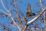 A European Starling lands on a berry patch in a tree to eat