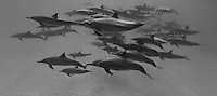 RZ1045-Dpbw. Spinner Dolphins (Stenella longirostris), very gregarious species often found in large groups. Hundreds of thousands were killed in past decades in purse seine nets used by the commercial tuna fishing fleet in the eastern tropical Pacific Ocean. Egypt, Red Sea. Cropped to panorama from native horizontal format. Color photo converted to black and white.<br /> <br /> Photo Copyright &copy; Brandon Cole. All rights reserved worldwide.  www.brandoncole.com