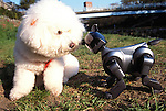 Sony's robopet Aibo plays with a bichon frise in Tokyo, Japan.