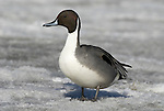 Northern Pintail, Anas acuta, Male standing on ice, Odaito, Hokkaido Island, Japan, japanese, Asian, wilderness, wild, untamed, ornithology.Japan....