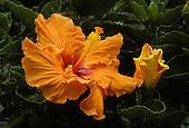 Orange hibiscus bush flower(malvaceae), often used in island landscaping
