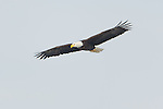 Adult bald eagle soaring above Onondaga lake.