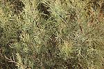 Branches of a Tamarisk tree (Tamarix articulata), close-up.