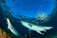 Two large Tiger Sharks (Galeocerdo cuvier) circle an underwater photographer in the Bahamas.