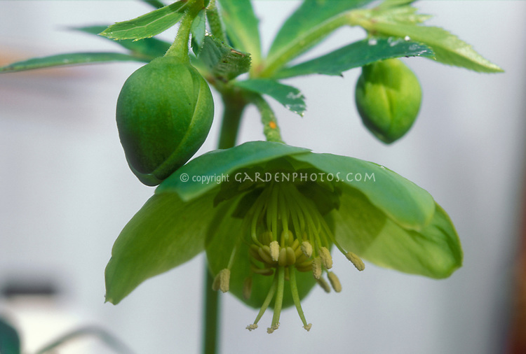 Helleborus torquatus flower against light background for cutout