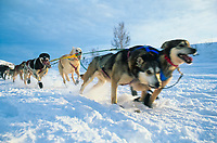 Start of the Yukon Quest on the Chena River in Fairbanks, Alaska. Sled dog team pulls hard at the start of the 1000 mile sled dog race from Fairbanks, Alaska to Whitehorse, Canada.