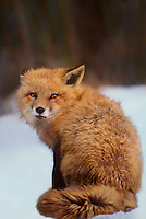 630746014 a captive red fox vulpes vulpes sits in a snowbank in montana