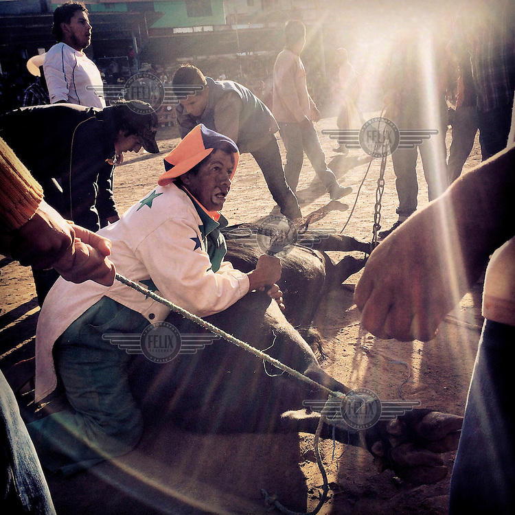 A clown helps to pin down a bull during the fiestas of Tumbaco.