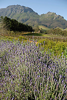 Lavender flowers and vineyards nearby Stellenbosch, South Western Cape, South Africa