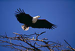 African fish eagle, Lake Bogoria, Kenya