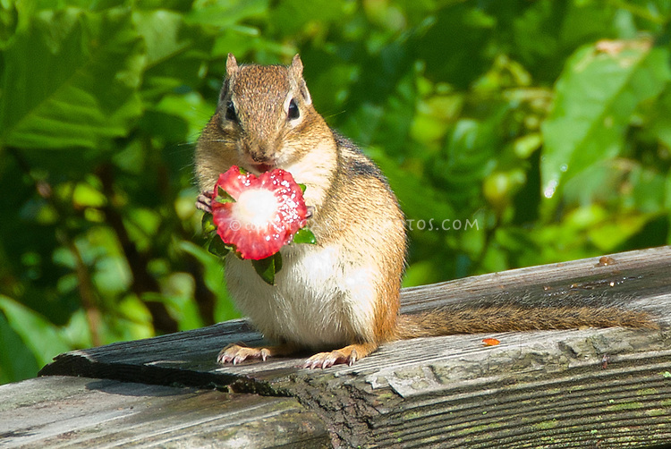 chipmunk mammal Plant Flower Stock Photography GardenPhotoscom