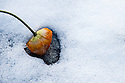 A dying poppy melts the snow. En valmue avslutter sin blomstring med &aring; smelte sn&oslash;en med sitt solvarme hode.Legg merke til at den lager en hjerteformet smeltefasong.