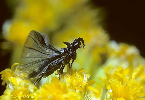 SF03-013c  Strepsiptera - male on goldenrod searching for mate - Xenos peckii