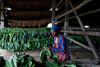 A woman works on tobacco leaves at a warehouse in the western province of Pinar del Rio, Viñales, Cuba. February 28, 2017. Tourists from around the world visit to Cuba during the annual festival of the cigar celebrate from February 27 to 3 of March.  VIEWpress/Eliana Aponte.