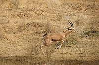 Antelope in the Thar Desert near Manvar, India