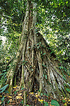Strangler Fig, Primary Rainforest, Danum Valley, Sabah, wide angle showing whole tree and canopy.Borneo....