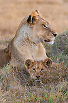 Lion and cub, Okavango Delta, Botswana