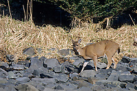 Sitka black-tailed deer feeds on seaweed along the shore of Montague Island, Prince William Sound, Alaska.